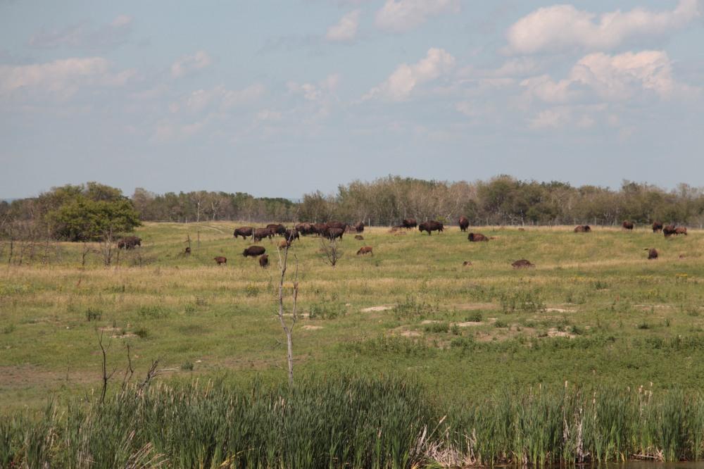 IMG_6912 bisons