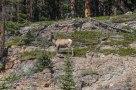 IMG_7825 mouflon-19
